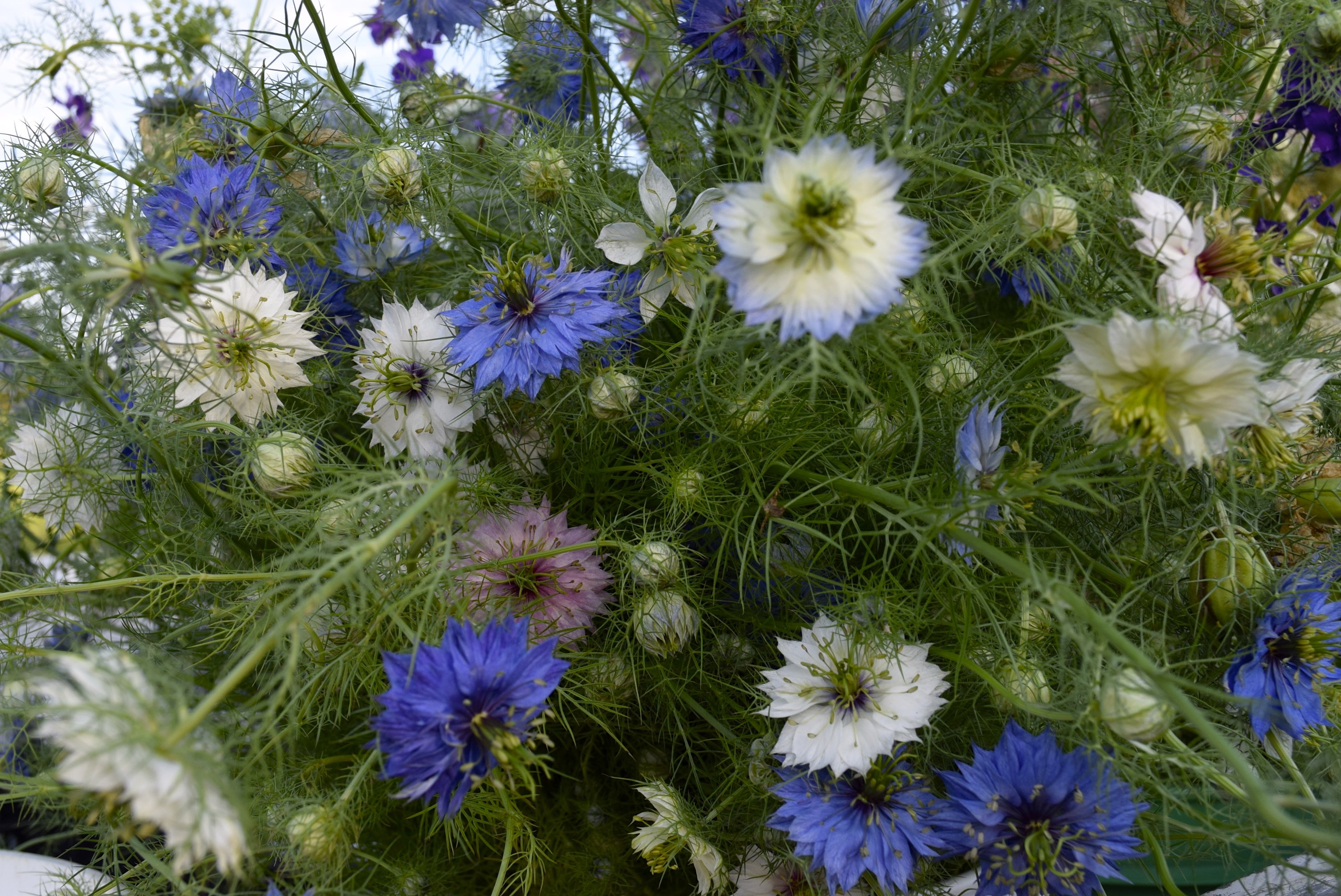 Top Ten Fall Sown Flowers For Spring Blooms